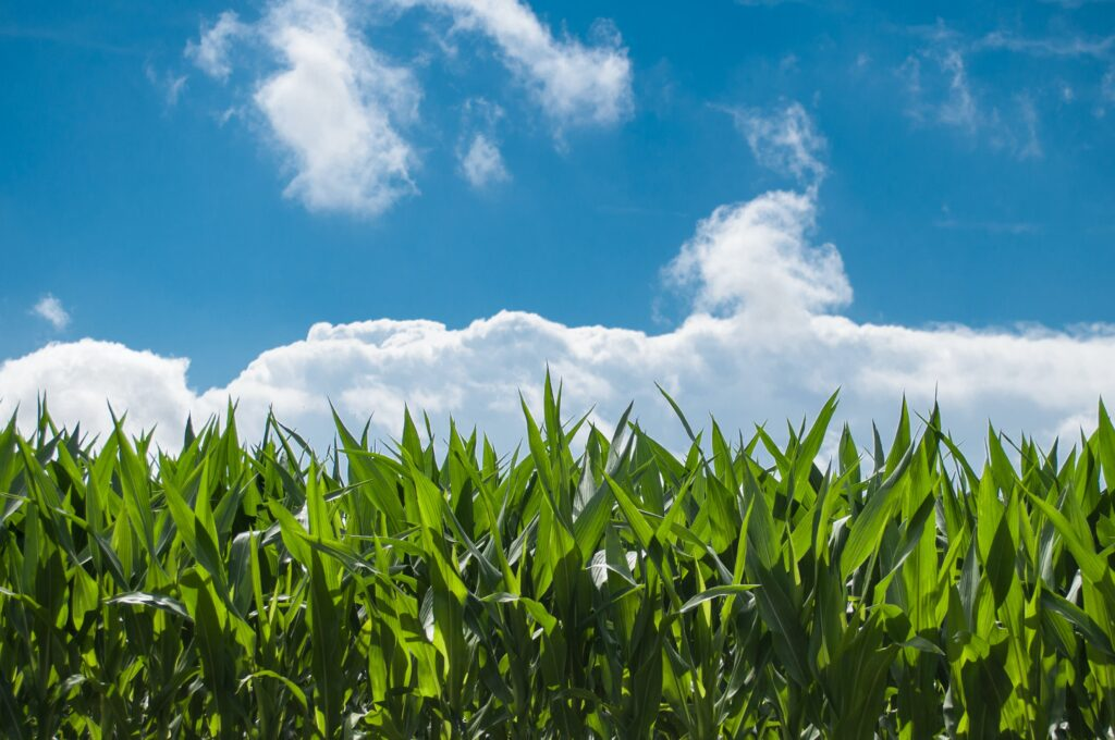 Ethanol in the U.S. is largely produced from corn.